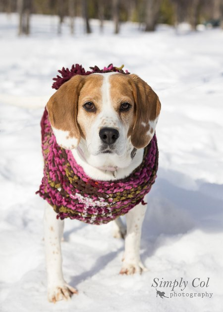 Sophie the Beagle